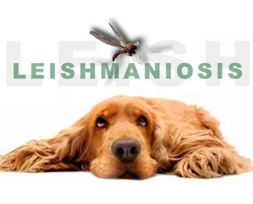 Leishmaniosis Sabadell Centro Veterinario La Creu
